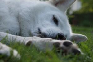 Giftköder eine Gefahr für unsere Hunde