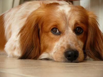 Magendrehung bei Hunden - Eine geäfhrliche Angelegenheit