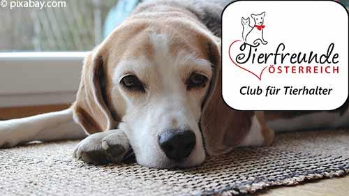 Ein fröhlicher und ganz schön sportlicher Freund, der Beagle.