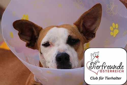 Jeder Hund kann gesundheitliche Probleme bekommen. Eine gute Krankenversicherung sorgt dafür, dass man finanziell bei häufig teuren OPs und Behandlungen unterstützt wird.