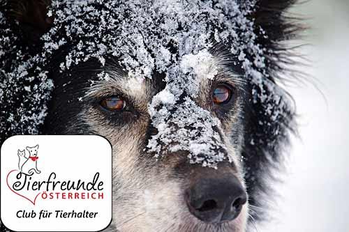 Den Winter mit dem Hund zu verbringen kann sehr schön sein – vorausgesetzt man weiß, worauf zu achten ist.