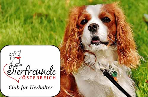 Ein kleiner Hund voller Intelligenz und Liebe: Das ist der Chavalier Kings Spaniel.