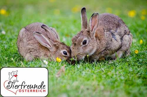 Bissige-Kaninchen
