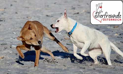 kämpfende-Hunde