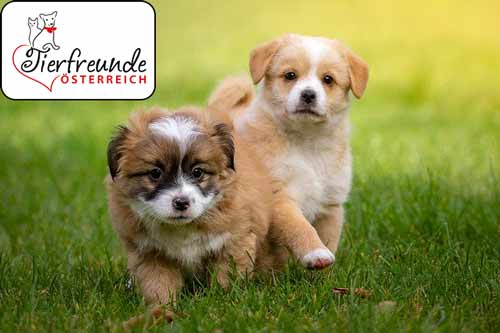 Pupertät-bei-Hunden